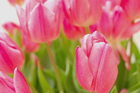 春らしいチューリップ